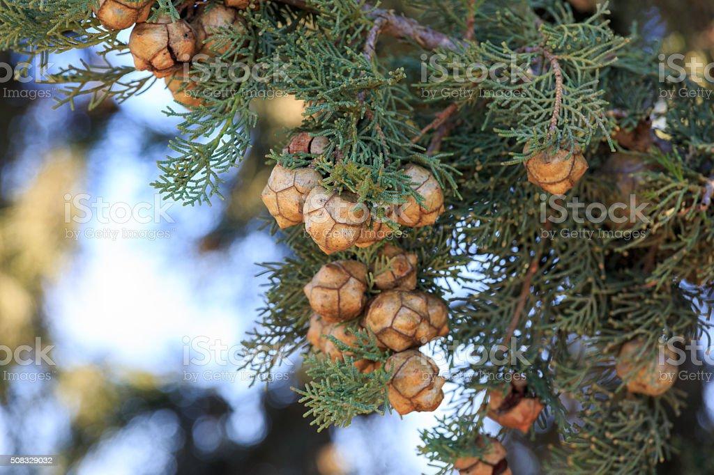 Bright cypress cones on his tree stock photo
