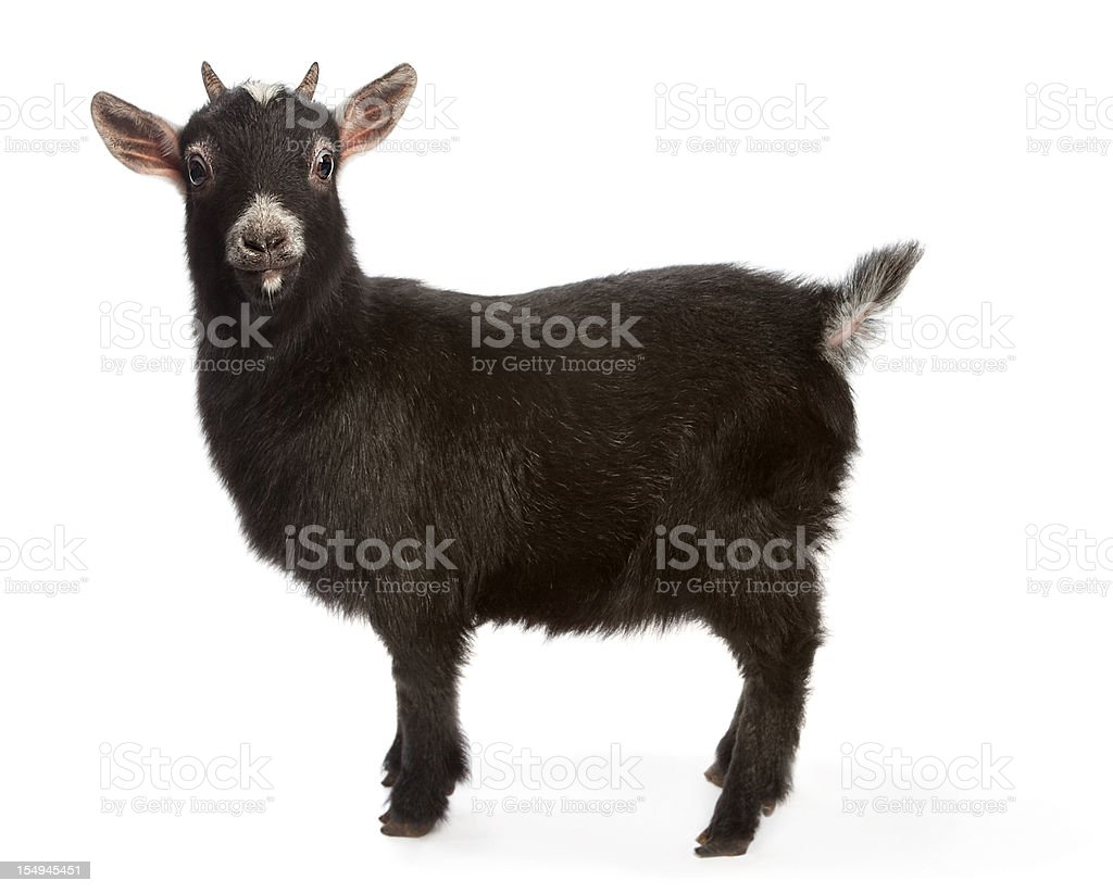Bright eyed and busy tailed miniature goat stock photo