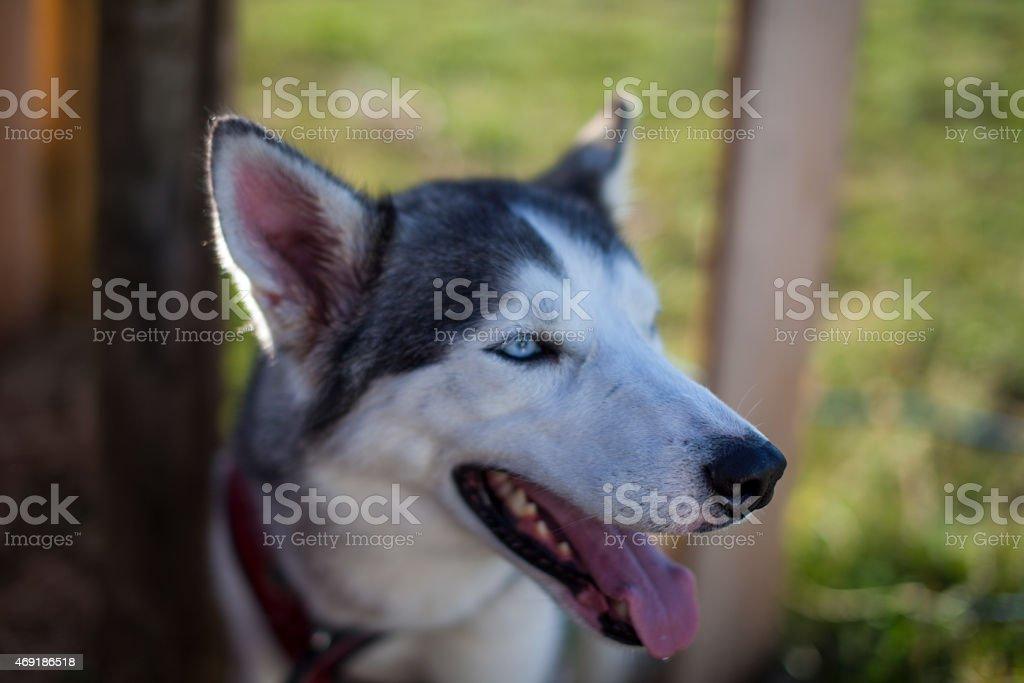 Bright eyed husky grigio e bianco foto stock royalty-free