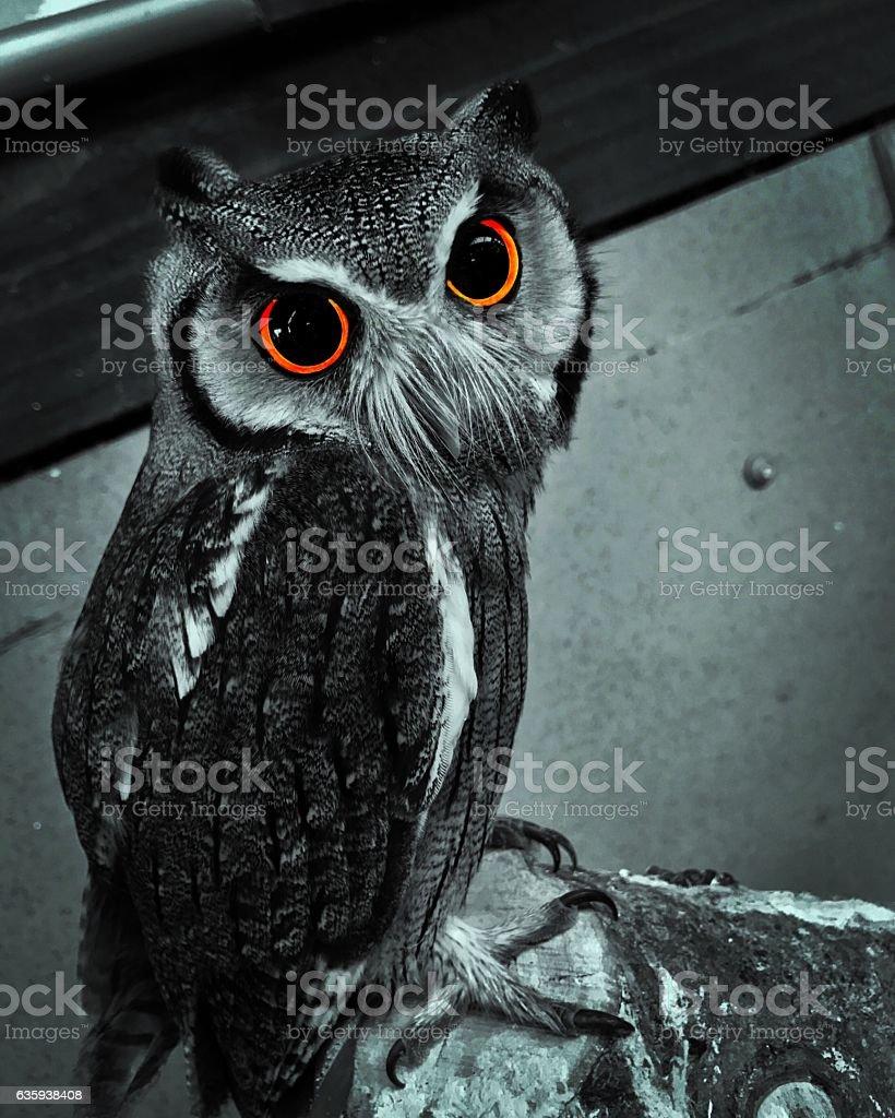 Bright Eyed Owl stock photo