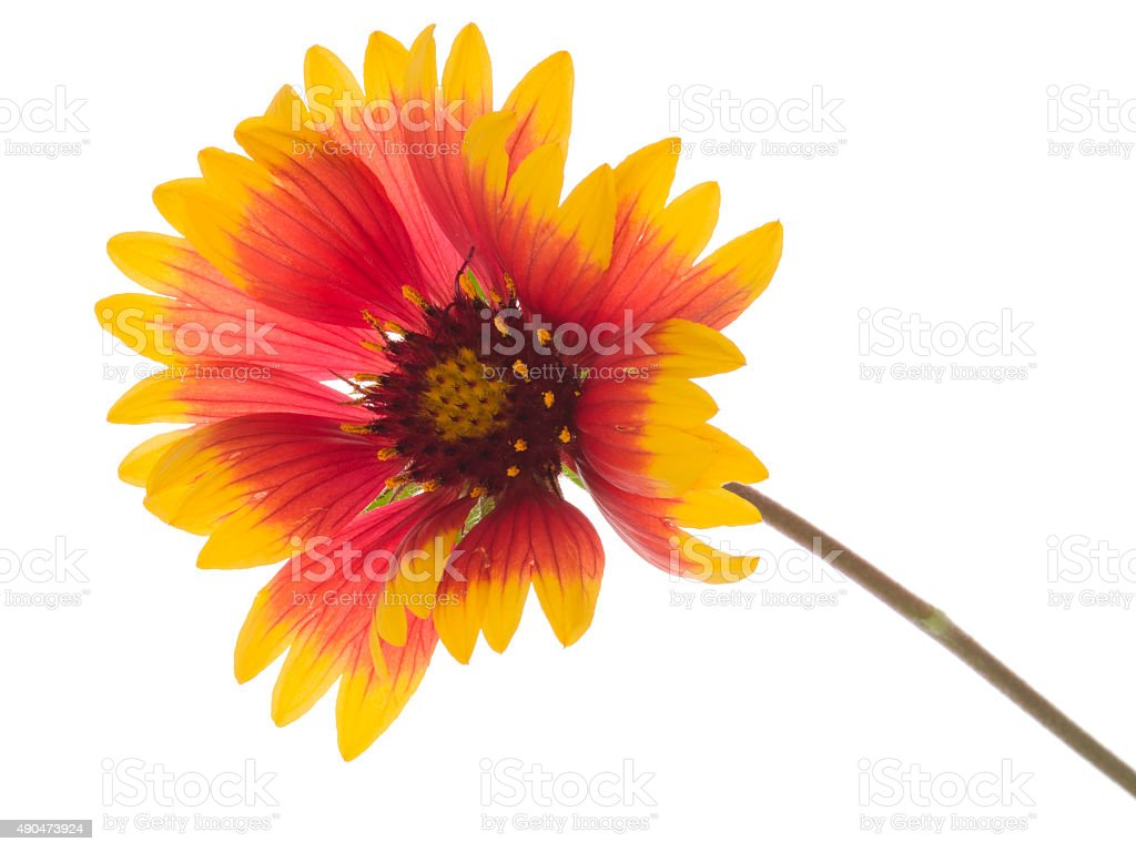 bright flower Gaillardia stock photo