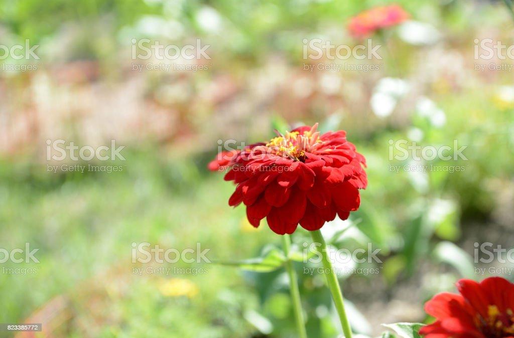 Bright flower in a summer garden close up stock photo