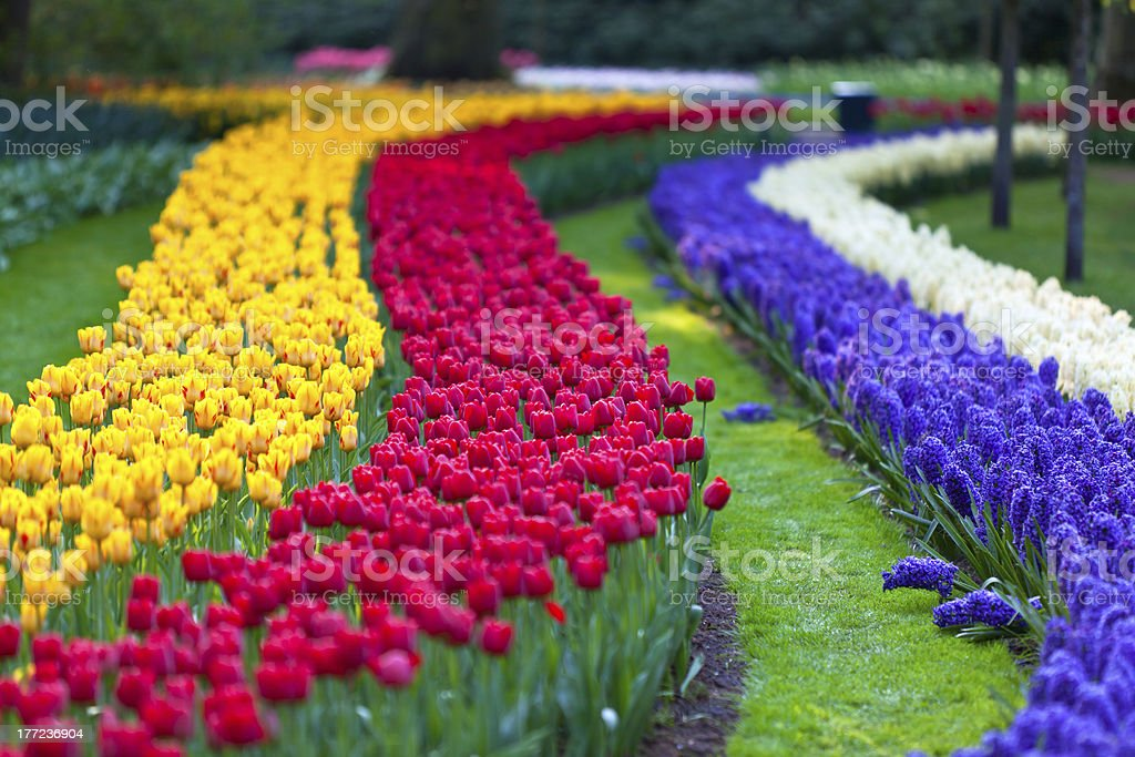 Bright flowerbed in Keukenhof royalty-free stock photo