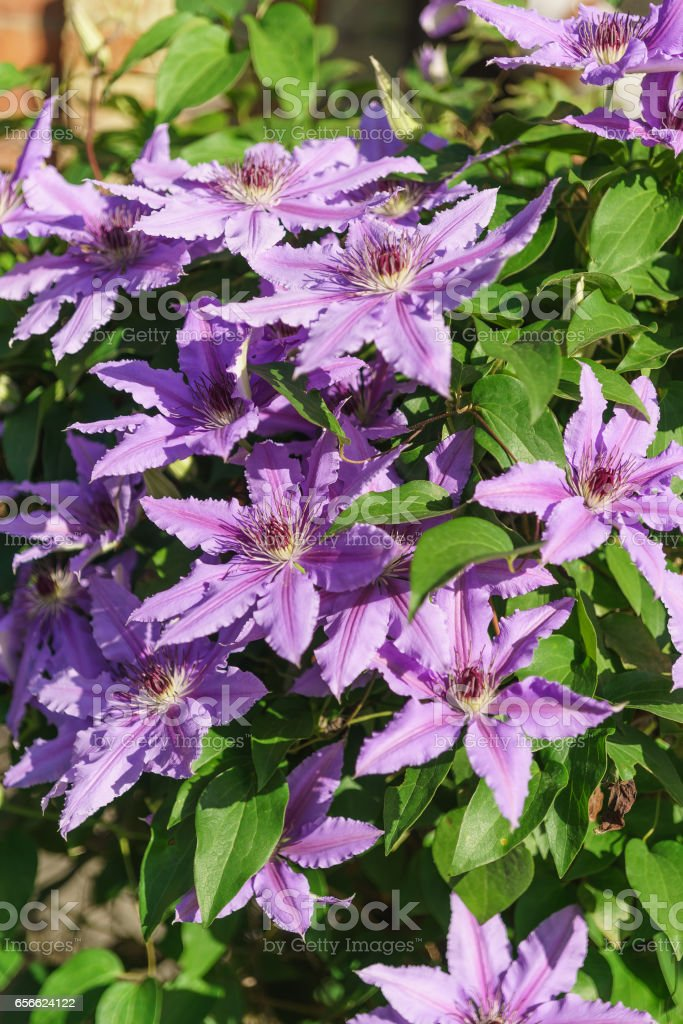 Bright flowering clematis varieties Polish General Sikorski (lat. Clematis General Sikorski) stock photo