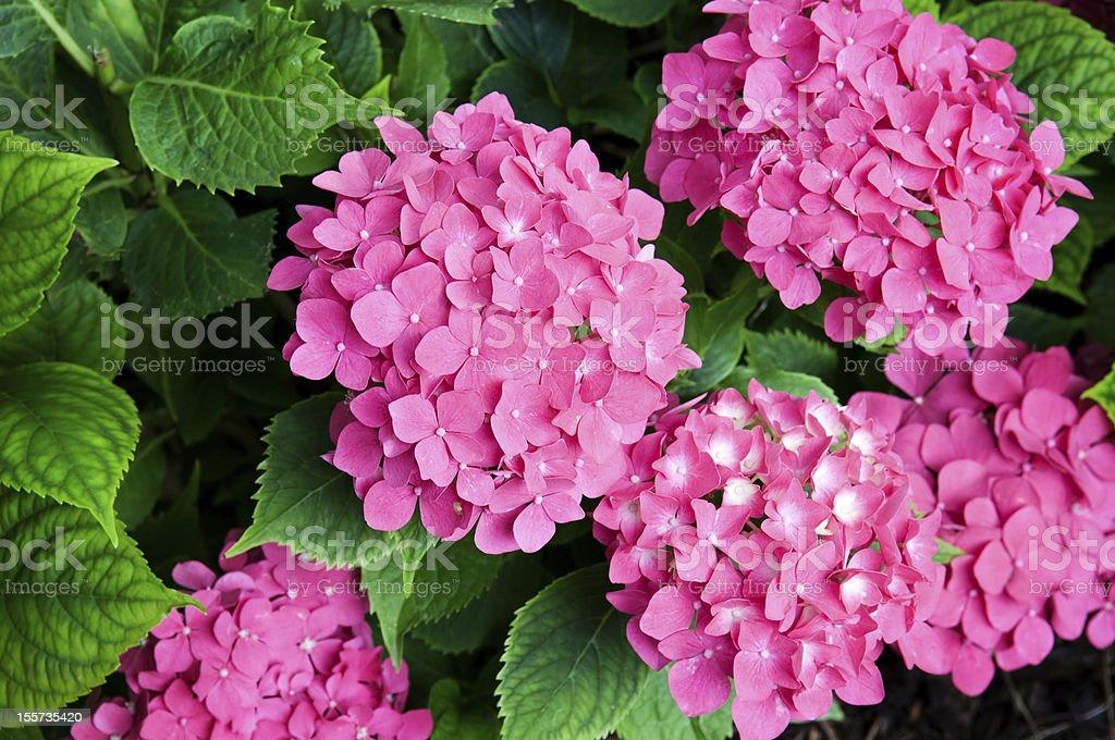 bright flowers hydrangeas royalty-free stock photo
