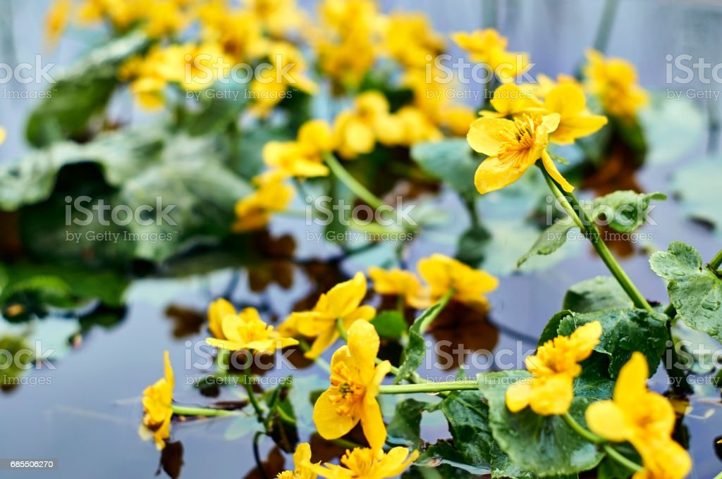 Bright Flowers of Caltha Palustris growing in water stock photo