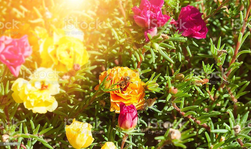 Bright flowers purslane. stock photo
