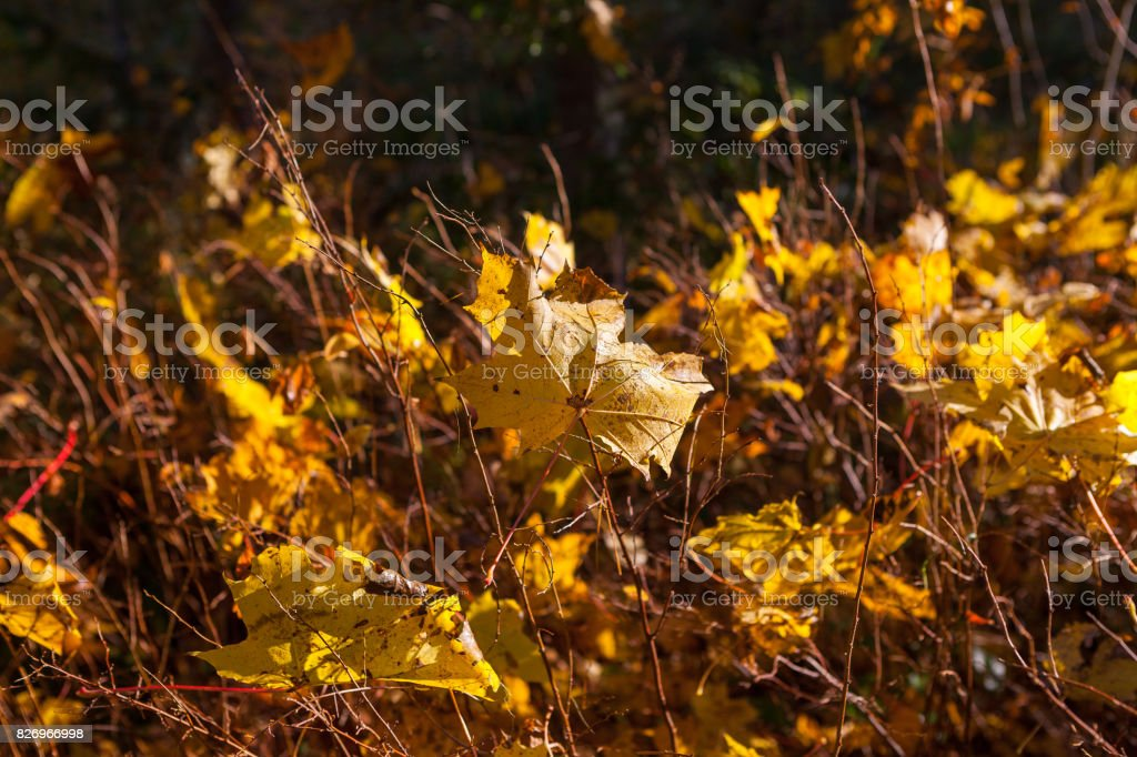 Bright golden leaves in the forest. Colorful fall time. Close up view. stock photo