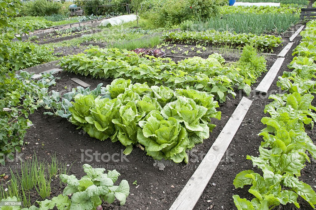 Bright green allotment garden bed and soil royalty-free stock photo