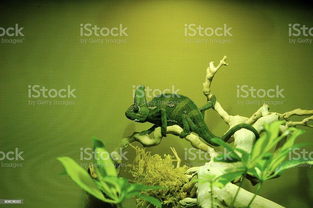 Bright green chameleon resting on green leaf plant stock photo