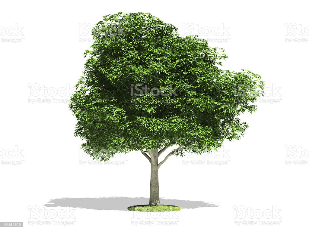 Bright green chestnut tree against white background royalty-free stock photo