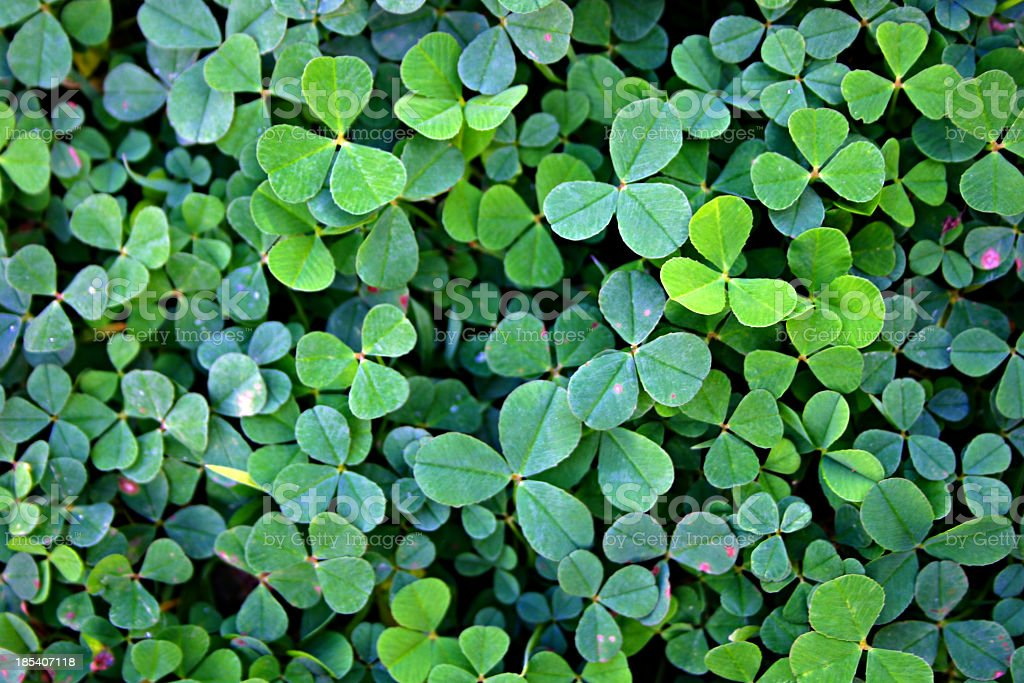 bright green clover patch close up from above stock photo