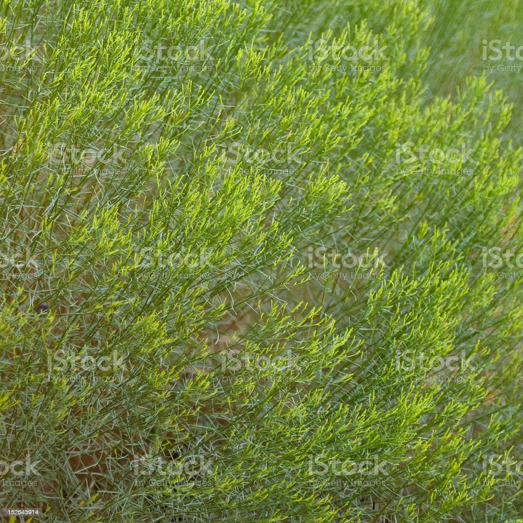 Bright Green Desert Broom stock photo