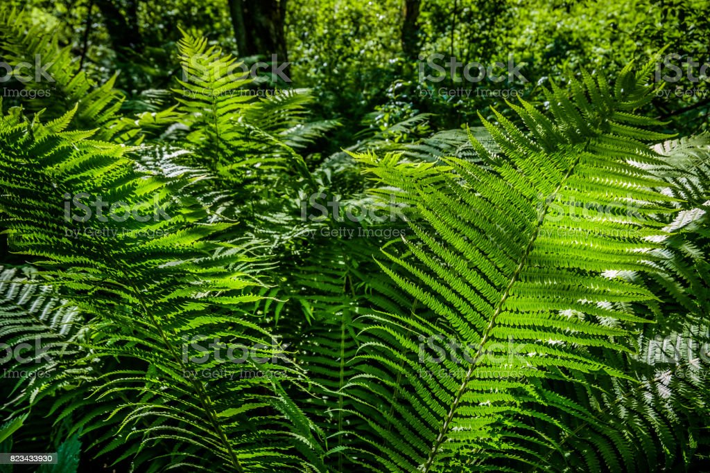 Bright green fern in a sun light as a background, close-up. stock photo