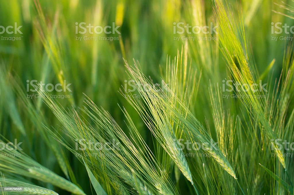 Bright green field fluffy spikelets stock photo