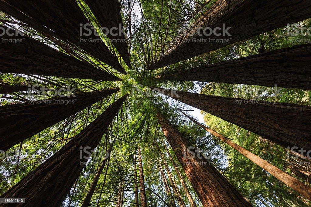 Bright green foliage creates circle pattern of coastal redwood trees stock photo
