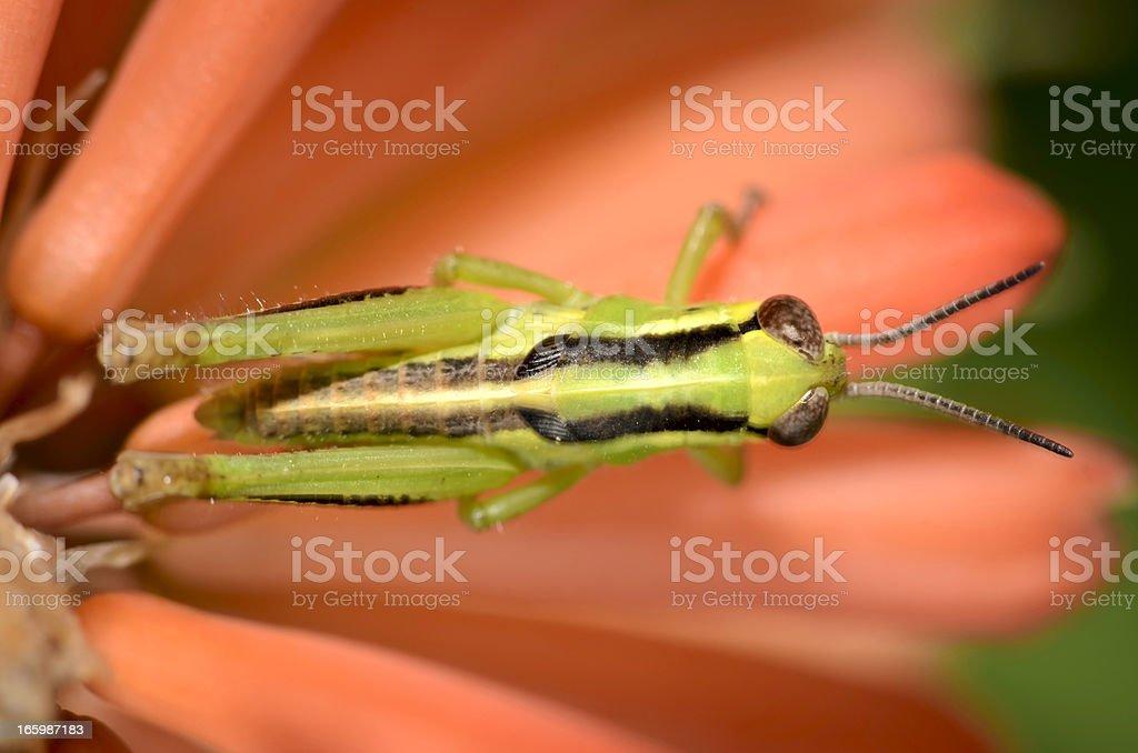 Bright Green Grass Hopper Resting on Flower Petals royalty-free stock photo
