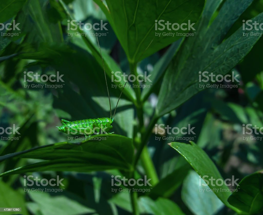 bright green grasshopper royalty-free stock photo