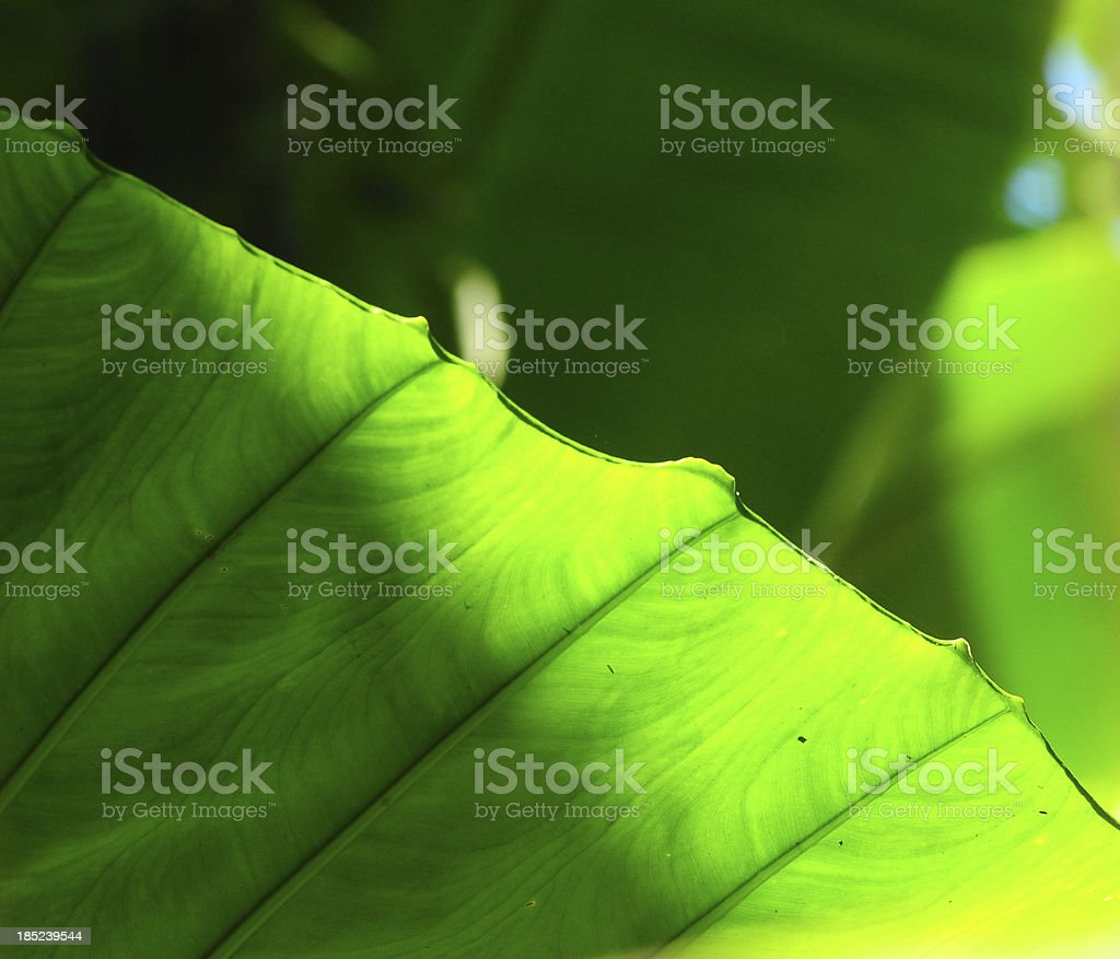 Bright green leaf  background royalty-free stock photo
