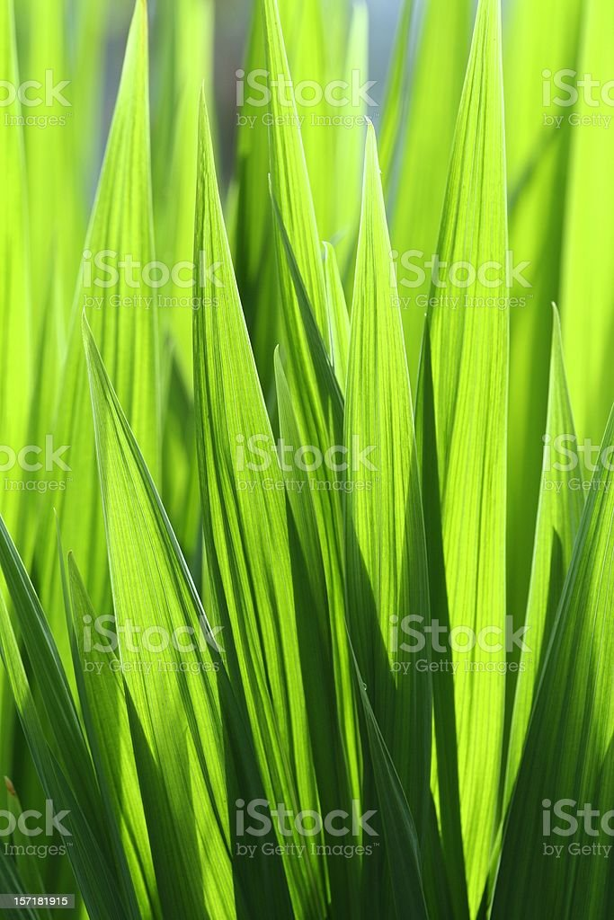 Bright green leaf blades royalty-free stock photo