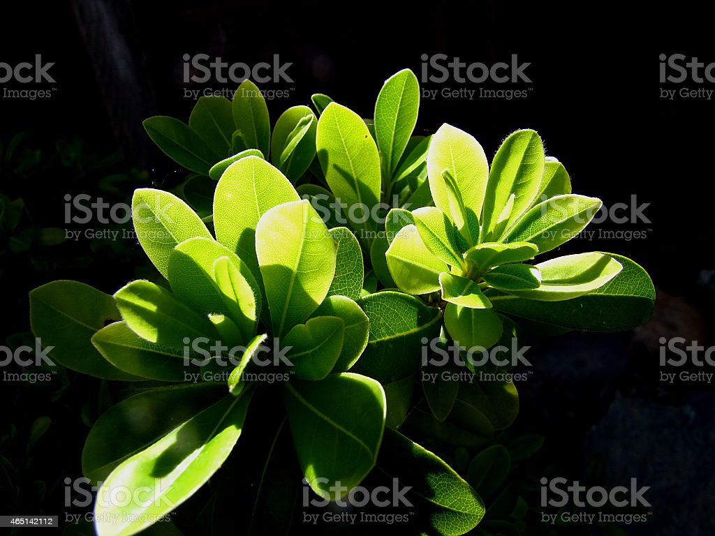 Bright Green Leaves of a Flower stock photo