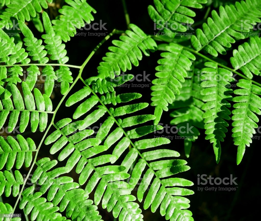 Bright green leaves of Forest Ferns stock photo