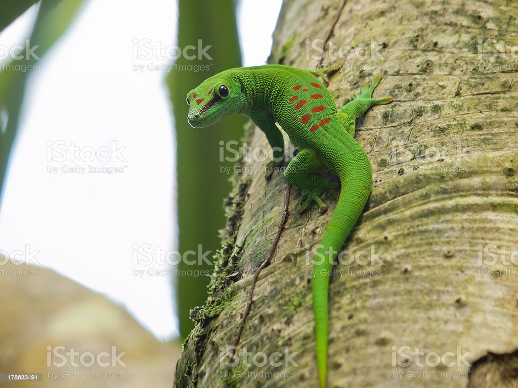Bright green Madagascar Day Gecko sitting on tree trunk stock photo