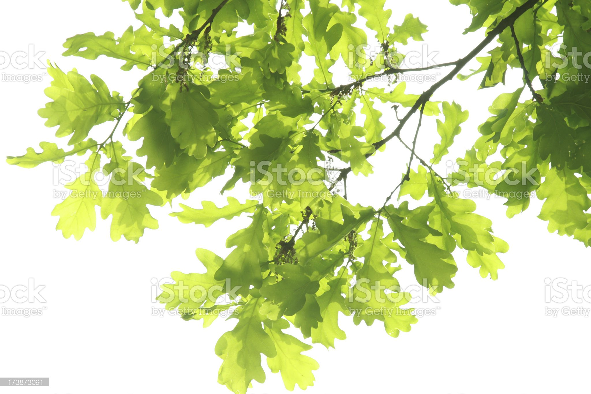 Bright green oak leaves on branches on a white background royalty-free stock photo