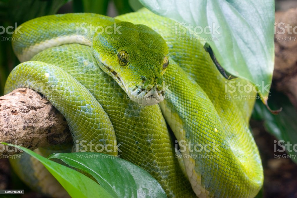 Bright green python wrapped around a tree branch stock photo