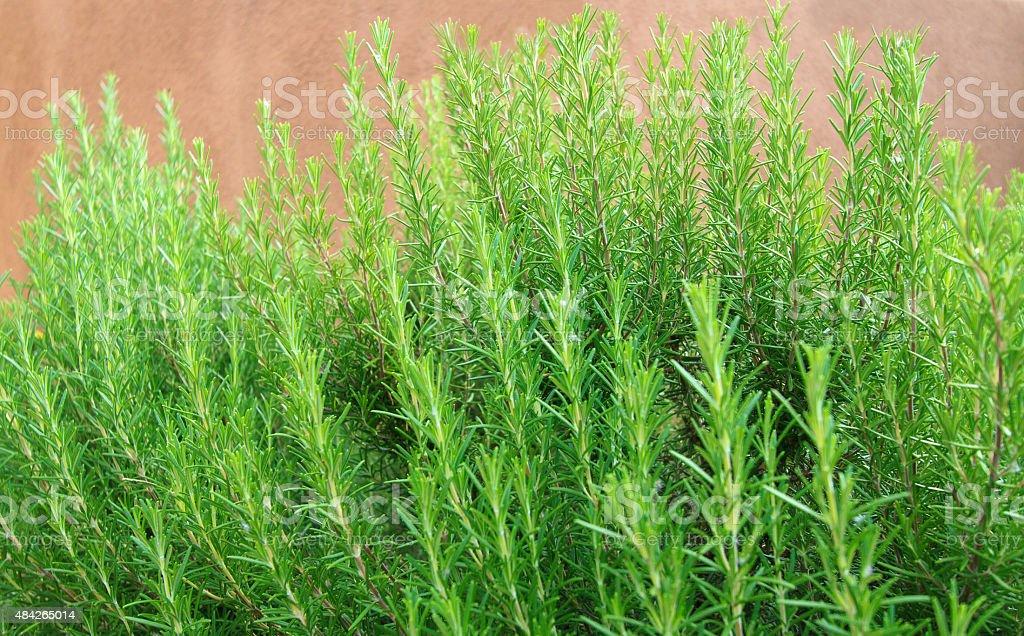 Bright Green Rosemary Hedge along Brown Wall (Close-Up) stock photo