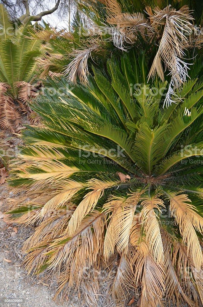 Bright Green Sago Palm royalty-free stock photo
