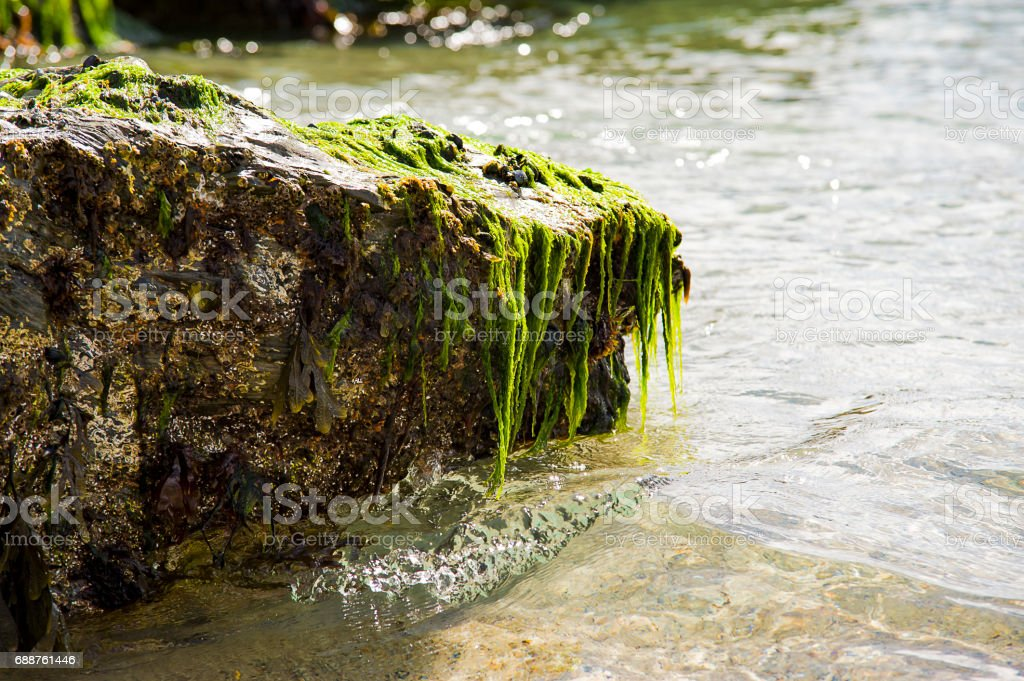 Bright green sea weed clings to a ricky outcrop while gentle waves roll in. stock photo