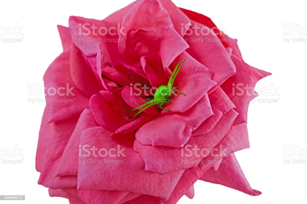 bright green spider on a pink rose royalty-free stock photo