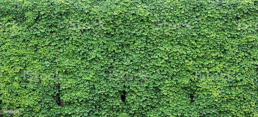 Bright green wall of ivy leaves stock photo