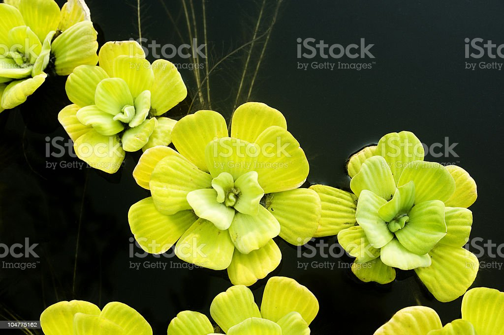 bright green water lilies in pond royalty-free stock photo