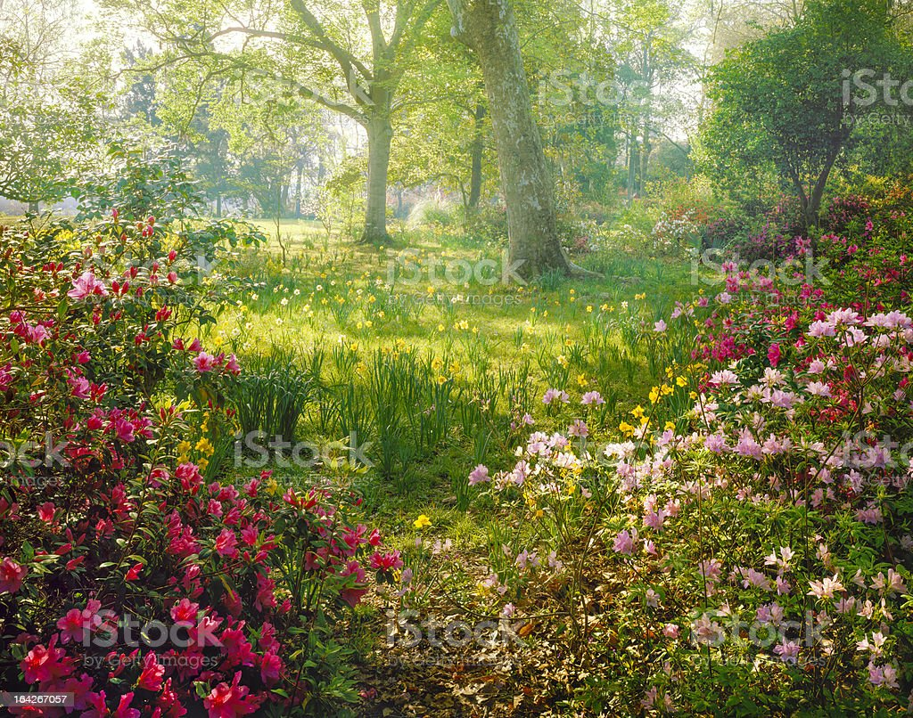 bright hazy sunlight through azalea and daffodil garden stock photo
