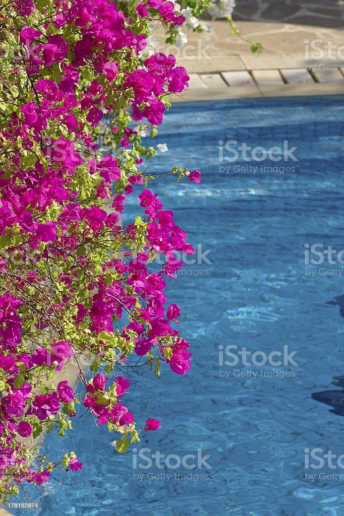 Bright magenta clambering plant against resort swimming pool royalty-free stock photo