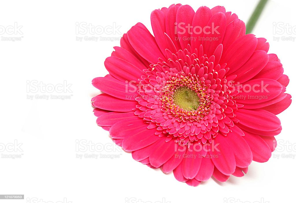 Bright magenta gerbera daisy flower, isolated on white royalty-free stock photo