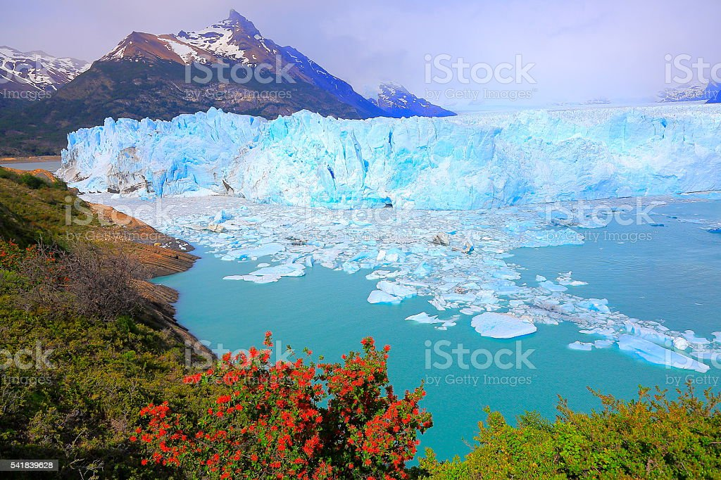 Bright Moreno Glacier, flowers, ice floe, Lake Argentina, Patagonia, Calafate stock photo