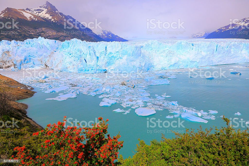 Bright Moreno Glacier, flowers, ice floe, Lake Argentina, Patagonia, Calafate stock photo