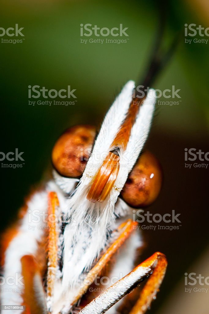 Bright Orange Butterfly Face stock photo