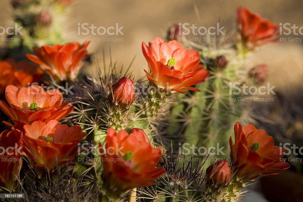 Bright Orange Cactus Flowers royalty-free stock photo