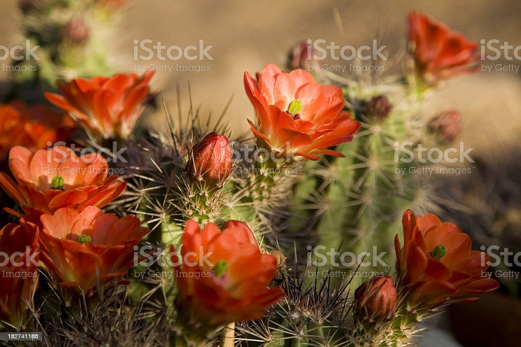 Bright Orange Cactus Flowers stock photo