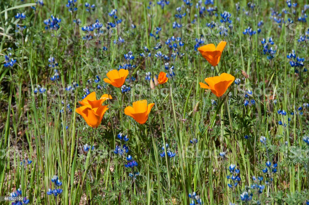 Bright orange California Poppies grow with blue lupine. stock photo
