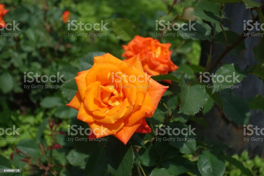 Bright orange double flower of garden rose stock photo