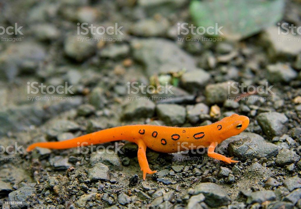 Bright orange Eastern Newt sitting still on rocks stock photo