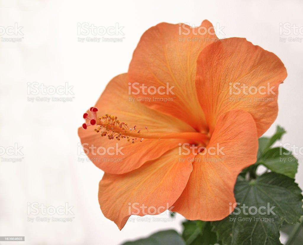 bright orange hibiscus flower royalty-free stock photo
