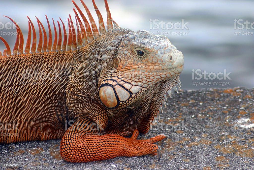 Bright Orange Male Iguana royalty-free stock photo