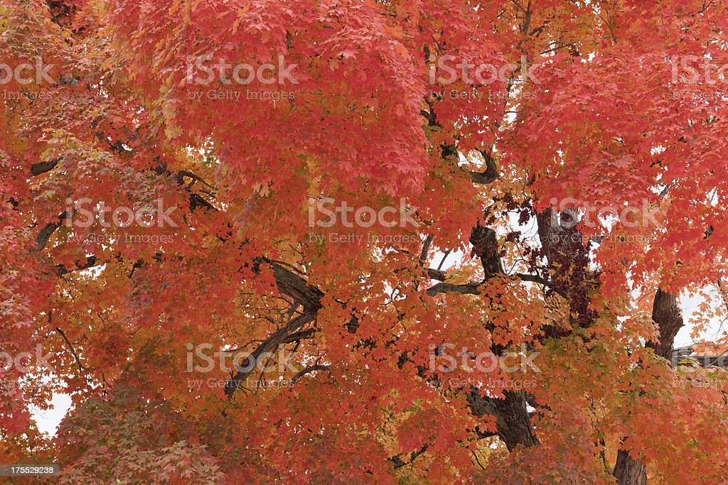 Bright Orange Maple Foliage royalty-free stock photo