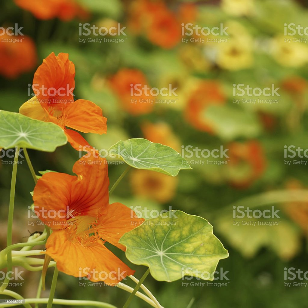 Bright orange nasturtium flowers and leaves in early summer stock photo